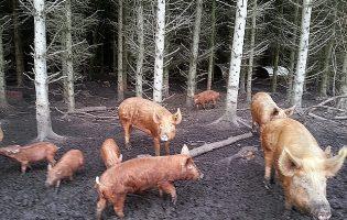 Pigs – week 10